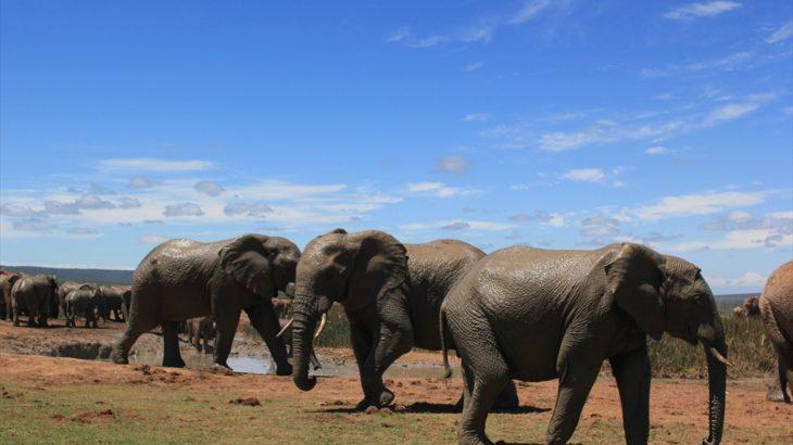 [南アフリカ] ポート・エリザベス滞在 アドゥ・エレファント国立公園で初めてのサファリ